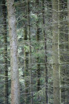 Thin tree trunks close-up