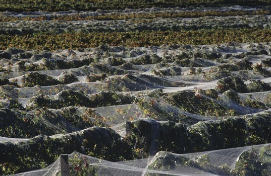 Nets over vineyard