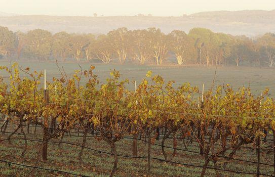 Vineyard in rural landscape Victoria Australia