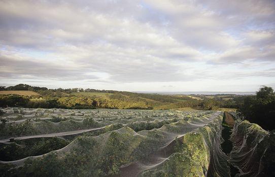 Nets over vines Mornington Peninsula Victoria Australia