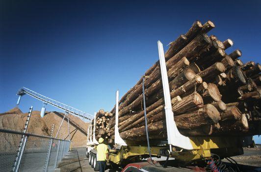Plantation Eucalyptus (bluegum) trees being prepared for woodchipping
