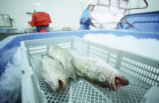 Fish in basket over ice people working in background
