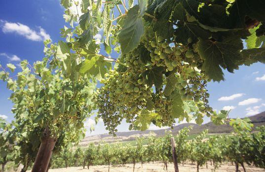 Wine grapes on vines Central Victoria Australia