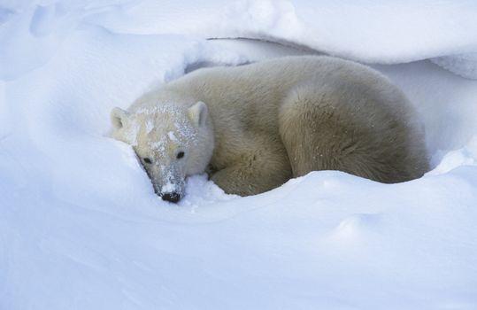Canada Churchill Polar Bear lying in snow
