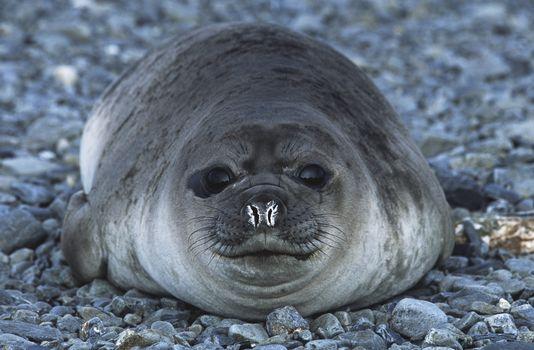 Antarctica South Georgia Island Weddell Seal on pebble beach close up
