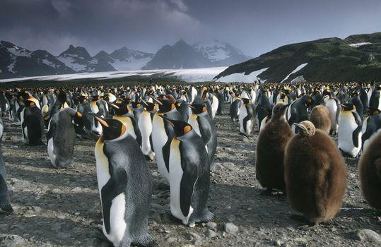 UK South Georgia Island colony of King Penguins