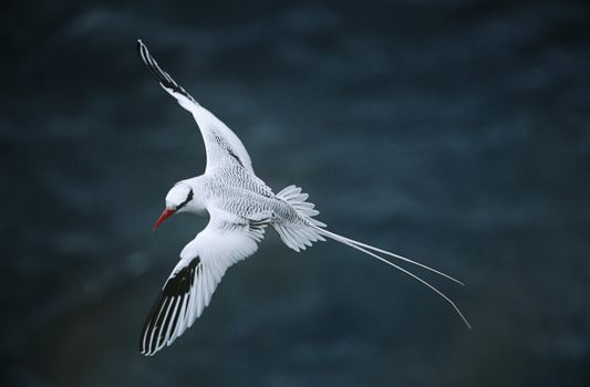 Red-billed Tropicbird flying above sea elevated view