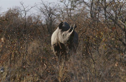 Namibia Black Rhinoceros standing amongst bushes