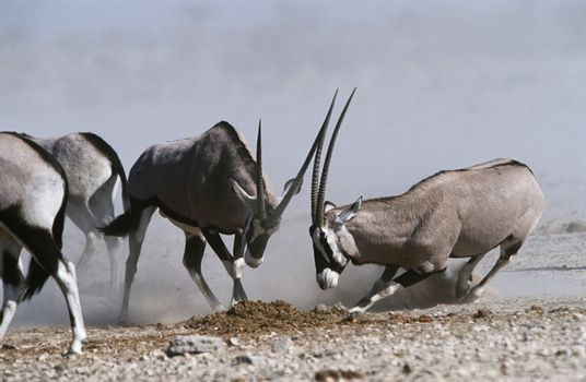 Namibia Etosha Pan Gemsbok fighting