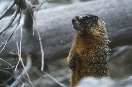 Yellow-bellied Marmot standing on hind legs by fallen tree trunk