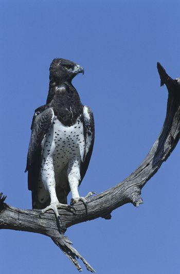 Martial Eagle (Polemaetus bellicosus) perching on branch