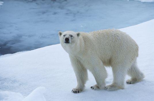 Polar Bear on Ice Yukon