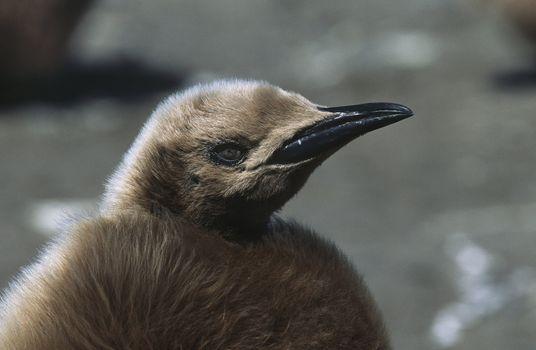 UK South Georgia Island juvenile King Penguin on beach close up