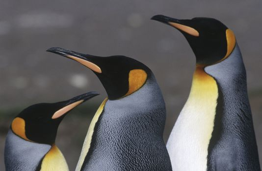 UK South Georgia Island three King Penguins close up