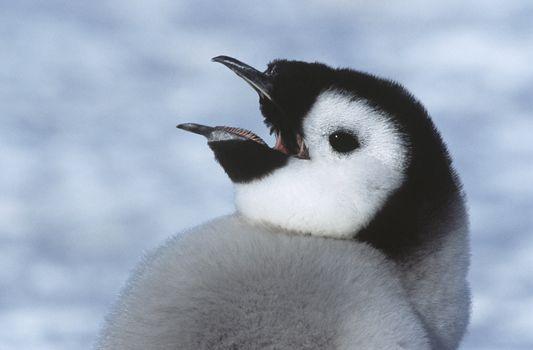 Close-up of Juvenile Emperor Penguin with open beak