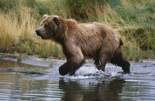 USA Alaska Katmai National Park Brown Bear running across water side view