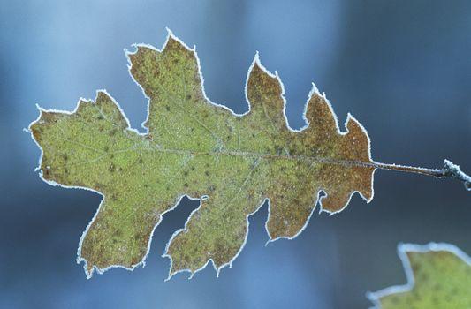 Frosty oak leaf close-up