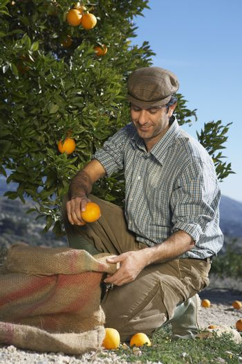 Middle age farmer collecting oranges in sack