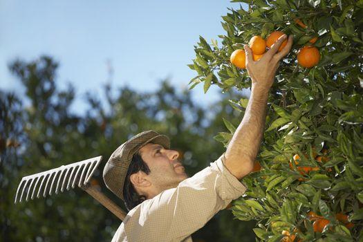 Closeup of middle age farmer harvesting oranges in farm