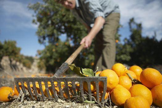 Middle age farmer raking oranges in farm