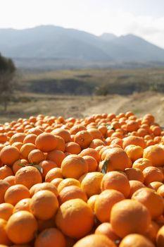 Heap of oranges in farm
