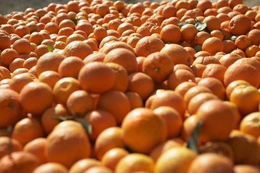 Pile of oranges in farm