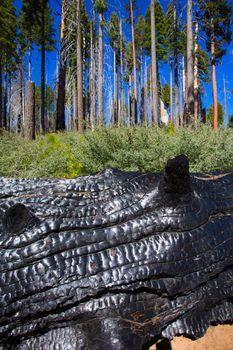 burned charred redwood trunk in Yosemite
