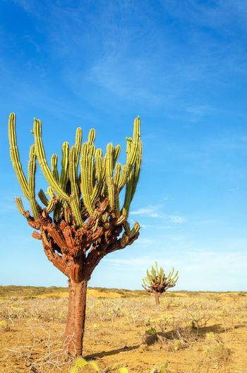 Two tall cactuses in an otherwise dry barren desert in La Guajira, Colombia