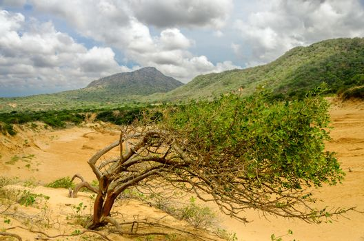 Tree struggling to grow next to a sand dune in Macuira National Park in La Guajira, Colombia