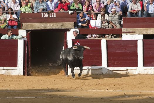 Capture of the figure of a brave bull in a bullfight going out of bullpens, Spain