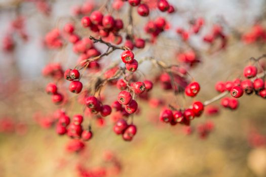 Bunch of hawthorn red berries on the branch.