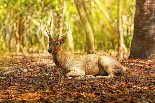 A deer lying in the wilderness of Komodo national park