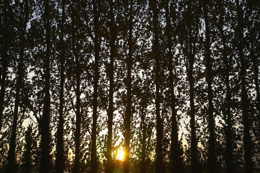 Row of Trees at Sunset