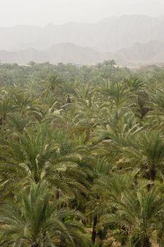 Palm treetops with mountain range in the background, Bidyah, Dubai, UAE