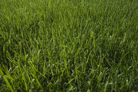 Grass close-up