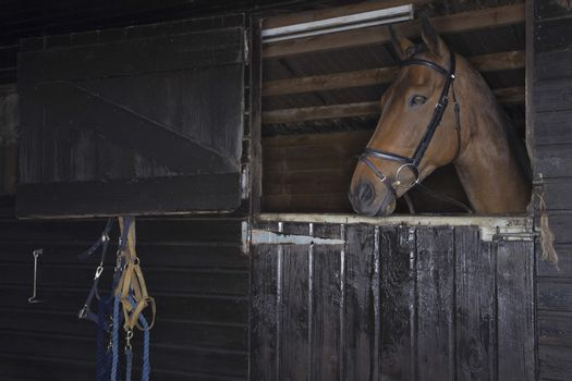 Brown horse in the stable