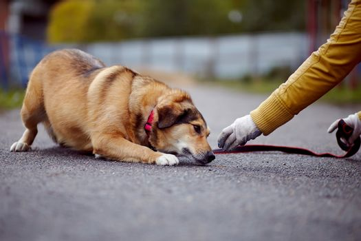 The red not purebred dog lies on the road