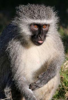 Vervet Monkey Concentrating