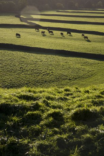 Cows on pasture in Yorkshire Dales Yorkshire England