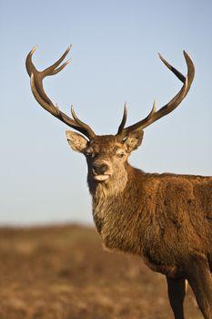 Red Deer animal portrait