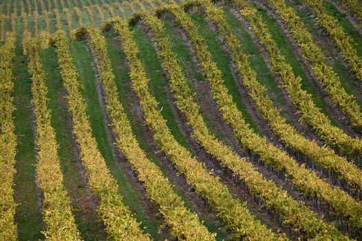Vineyard in Santa Maria California