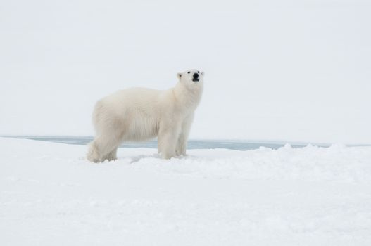 Polar bear north of Spitsbergen (Svalbard) close to the North Pole Norway