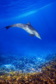 Wild Dolphin and sea grass in blue ocean of Zanzibar