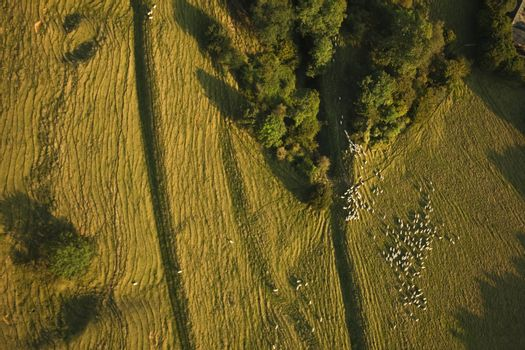 Aerial view of sheep on farming land