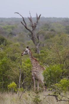 Giraffe stands in African woodland
