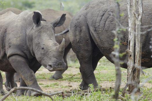 Baby Rhino walks with herd