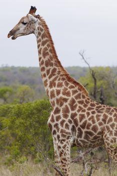 Giraffe stands side view profile