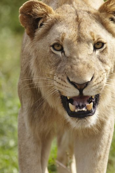 Lioness snarling at camera