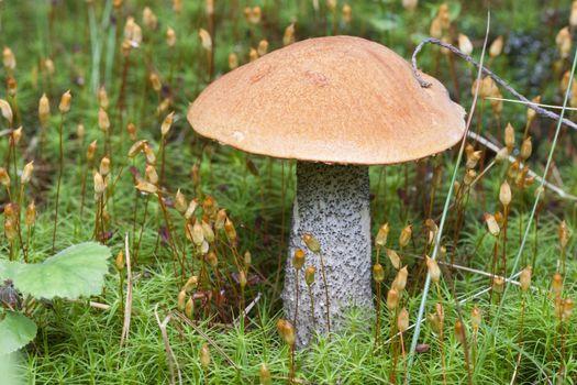 Birch Mushroom  Norwegian woodland