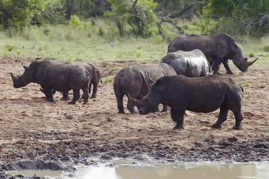 Herd of Rhinocerous on muddy riverbank